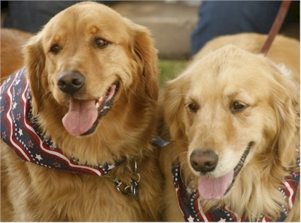 "All pictures for the ""Tails of Kensington"" Calendar were photographed by Janice Roudebush including this pair of lovely Golden Retrievers."