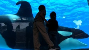 "Tilikum in a scene from ""Blackfish,"" a Magnolia Pictures release. (Courtesy Magnolia Pictures)"