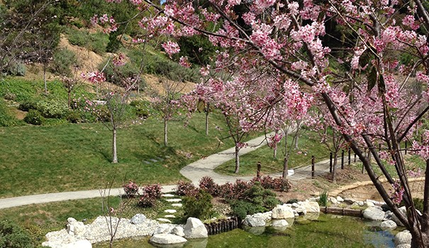 At the Japanese Friendship Garden's 10th Annual Cherry Blossom Festival, the brightly colored tree will be on full display. (Courtesy of the Japanese Friendship Garden Society of San Diego)