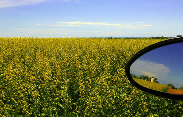 Bright yellow canola crops provide a colorful landscape as you drive in the countryside outside of Saskatchewan, Saskatoon, Canada. (Photo by Ron Stern)