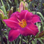 Daylilies deliver