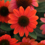 Summer's top 10 garden flowers