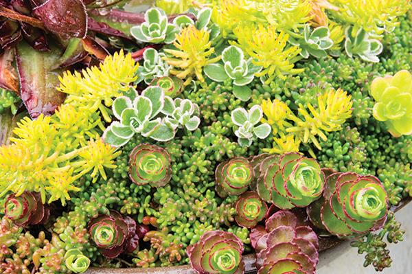 Sedum or sempervivum plants for use in planted roof