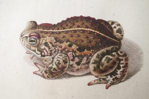 "Illustration from ""Historia Naturalis Ranarum, 1758."" (Photo by Michael Field)"