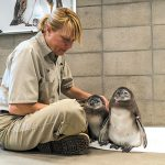 African penguin colony produces its first chicks